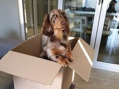 📸🐶 Helping his mom pack some orders Long Haired Dachshund, One Year Old, Dog Harness, Dog Photos, Adventure, Mom, Dark, Animals, Animales
