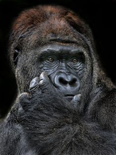 Gorilla Wiseguy by Irawan Subingar Primates, Mammals, Silverback Gorilla, Chimpanzee, Animals And Pets, Funny Animals, Cute Animals, Beautiful Creatures, Animals Beautiful