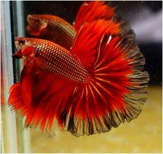 808 HM Copper Red Gold male