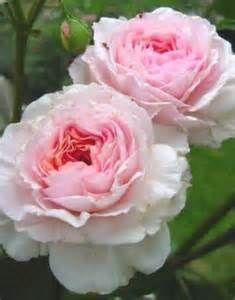Dvid austin roses