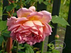 Cztery pory roku...: Róże