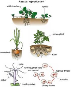 Asexual plant propagation examples of pronouns