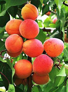 Aroma apricot Kuresia