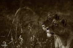 Kapama Ranger Viljoen Lions in grass 2019 Ranger, River Lodge, Private Games, New River, Photography Competitions, Photo Competition, Game Reserve, Once In A Lifetime, Color Shades