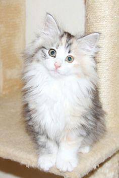 Cute Norwegian forest kitten