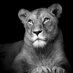 Photo The Lioness - Lukas Holas