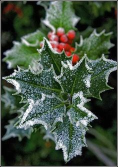 Frosted Holly and Berries