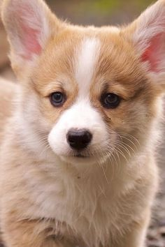 Corgi puppy, so sweet!