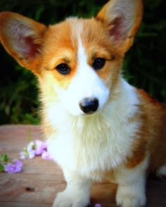 Classic sable Pembroke Welsh Corgi puppy at 14 weeks of age
