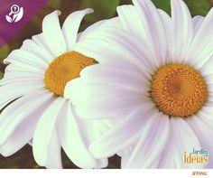 As Argyranthemum frutescens, mais conhecidas como margaridas, possuem diversos significados: acredita-se que elas trazem ares de pureza, leveza e paz para o jardim pela suas cores e formas delicadas.