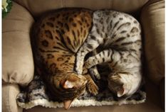 Our two Bengal cats, Rocket and Silver. They think they can both fit in this chair! Rocking Chair, Snuggles, Creatures, Bengal Cats, Fantasy, Wall Art, Painting, Animals, Fit