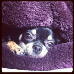 An adorable little Chihuahua tunneling under his or her covers. My little Chihuahua does this every day :)