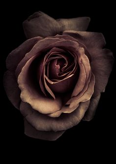 a rose in monochrome by Alan Shapiro on - mi sitio Sad Wallpaper, Flower Wallpaper, Types Of Roses, Brown Aesthetic, Flower Aesthetic, Love Rose, Beautiful Roses, Flower Tattoos, Dried Flowers