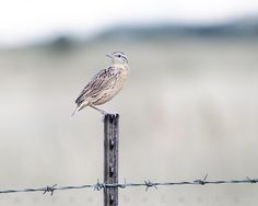 Fine Art Ranch Photography Barbed Wire Fence by MurrayBolesta, $50.00