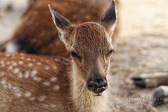 Deer and Rabbits in Japan | Miyajima Island, Japan // baby deer! by rachelpp