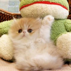 """Hi there!"" Persian kitten. Omg. http://instagram.com/p/nmXTv-RbQ8/"