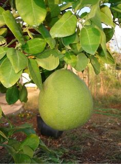 big Pomelo fruit tree