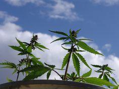 Nasiliła się dyskusja o medycznej marihuanie w mediach społecznościowych. Rośnie poparcie internautów dla niekonwencjonalnych metod leczenia.