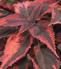 "Coleus 'Religious Radish' - Deep tones of red-pink mixed with burgundy make this a stunning accent plant. Plant in sun or shade. Height 24-36""."
