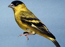 Yellow-faced Siskin (Carduelis yarrellii)