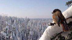 Finnish little bird Kuukkeli ❤️, endangered I believe.