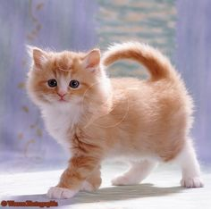 Fluffy ginger female kitten photo