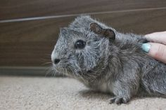 Silver Agouti Abyssinian Guinea-pig | My Week #1 - Introducing Basil & Rocky... by Charli-Blogs on SheSaidBeauty