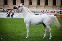 Arabian horse                                                                                                                                                      More