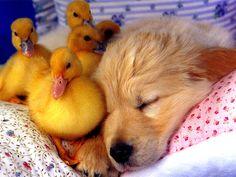 cute aniamls | CUTEST FRIENDS, birds, cute, dog, ducklings, puppy, sleep