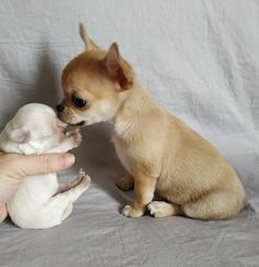 Check out our store for the best Chihuahua tees mugs hoodies and gift ideas . Baby Animals Super Cute, Cute Baby Dogs, Cute Dogs And Puppies, Cute Little Animals, Doggies, Cute Animal Pictures, Dog Pictures, Chihuahua Puppies, Hamsters