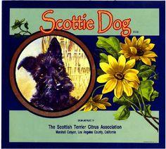 Scottish Terrier Puppy, Terrier Dogs, Cairn Terrier, Orange Crate Labels, Vintage Dog, Vintage Crates, Vintage Prints, Wow Art, Vintage Labels