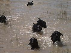 Lab puppies on their first swim.