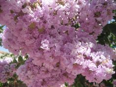 Crepe myrtle blooms in our yard.