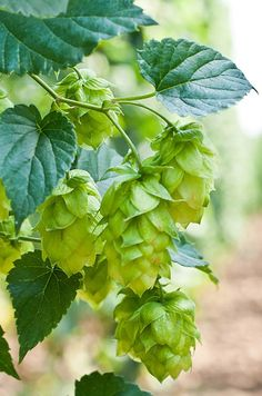 2018 Herb of the Year - Hops Humulus ssp Hop Tattoo, Hops Plant, Beer Hops, Blossom Garden, Plant Painting, Garden Terrarium, How To Make Beer, Wine And Beer, Autumn Garden