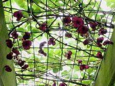 Akebia - Akebia quinata snoeien - klimbes, schijnaugurk - geurende klimplant in de tuin planten