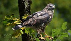 Broad winged hawk by ikord via http://ift.tt/2aHFe4L