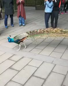 Symbolism is that Dave Beckmann is the peacock. He fans his tail when he is proud as a peacock of me. 😎 I love you too, sweetie. Pretty Birds, Beautiful Birds, Animals Beautiful, Beautiful Moments, Cute Funny Animals, Cute Baby Animals, Nature Animals, Animals And Pets, Cute Animal Videos