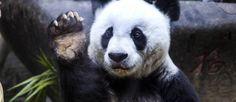 Foto de arquivo mostra Basi gesticulando no Centro de Pesquisas do Panda Gigante em Fuzhou  Foto: AP