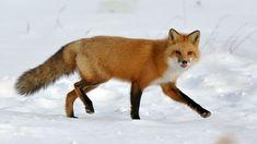 Time for Animal Hour:) renard (by Fabien Gagnon) Animals Beautiful, Cute Animals, Wild Animals, Fox Pattern, Fox Art, Red Fox, Original Image, Needle Felting, Pets