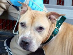 SUPER URGENT Manhattan Center OMEGA – A1043504 MALE, TAN, AM PIT BULL TER MIX, 8 yrs STRAY – STRAY WAIT, HOLD FOR ID Reason STRAY Intake condition EXAM REQ Intake Date 07/10/2015