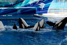 "NY ""Blackfish"" Bill To Ban Captive Orcas Approved By Senate Committee Rettet Die Wale, Orcas In Captivity, Save The Whales, Stop Animal Cruelty, Killer Whales, Sea World, Ocean Life, Marine Life, Sea Creatures"
