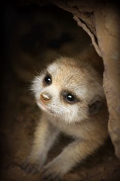 What's cuter than a meerkat? A baby meerkat with a muddy nose! | by Kia Lynn