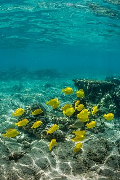 Underwater Adventure School of Yellow Tang along Coral Reef off Big Island of Hawaii Under The Water, Life Under The Sea, Underwater Creatures, Underwater Life, Ocean Creatures, Fauna Marina, Marine Fish, Marine Blue, Beautiful Ocean