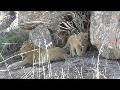 Special moments. Lion cubs with Lioness. - YouTube
