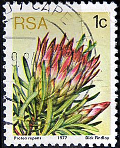 Republic of South Africa.  PROTEA REPENS.  Scott 475 A191, Issued 1977 May 27,  Lithogravured, Perf. 12 1/2, 1c.