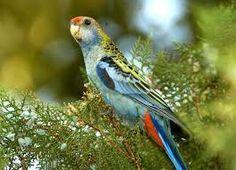 """Résultat de recherche d'images pour """"pale headed rosella bird"""""""