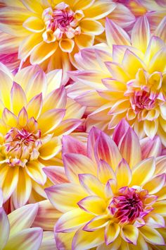 two tone, pink and yellow dahlias