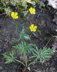 Aholeinikki, Ranunculus polyanthemos - Kukkakasvit - LuontoPortti