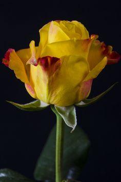 INTENSE - Eden Roses Ecuador #Flowers #Roses #Ecuador #PrimeroEcuador #Ecuador #Rose #MitadDelMundo #ThePleasureOfBeauty #edenrosesec #EdenRosesEcuador