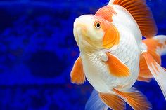 Ryukin (Goldfish)